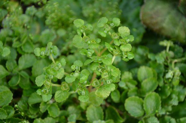 Chrysosplenium lanuginosum var formosanum_Vert Tige