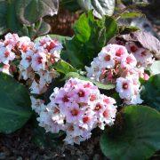Bergenia pacumbis_Vert Tige