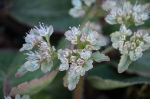 chrysosplenium_macrophyllum