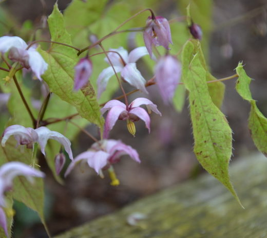 epimedium_enchantress[1]