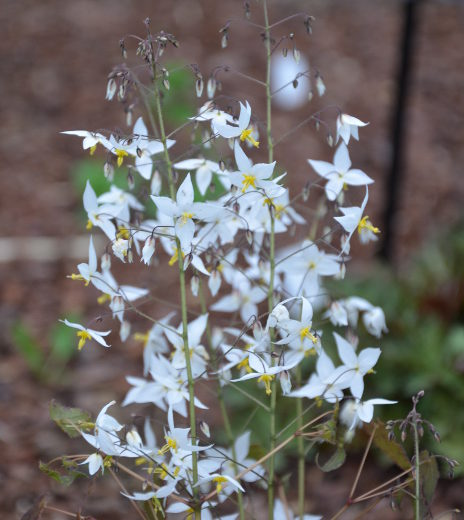 epimedium_stellulatum_long_leaf_form2[1]