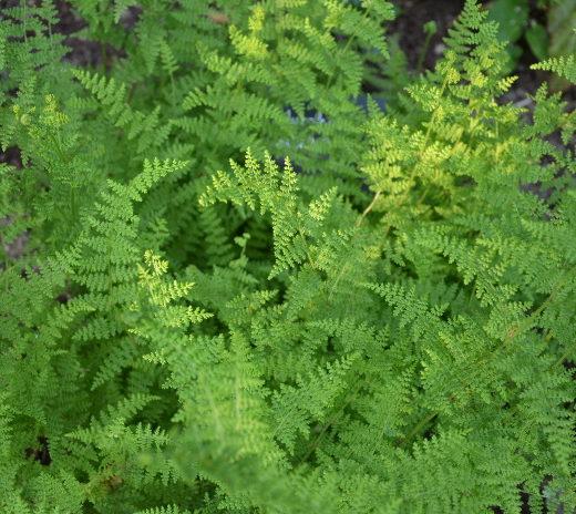 hypolepis_millefolium[1]
