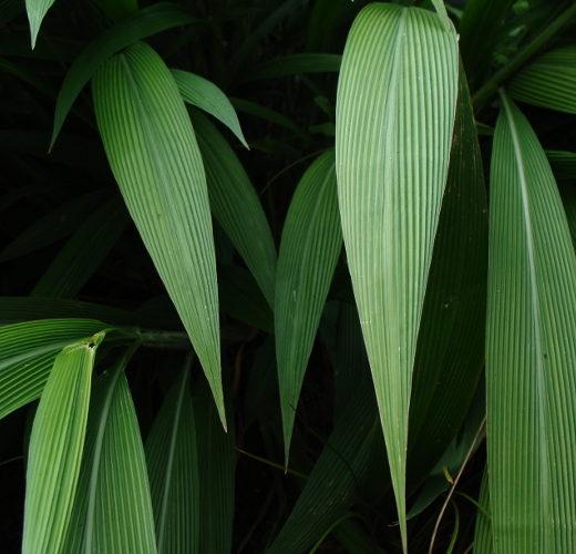 setaria_palmifolia[1]