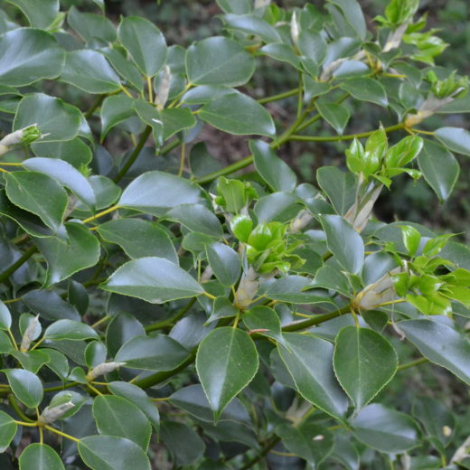 Trochodendron aralioides_Vert'Tige