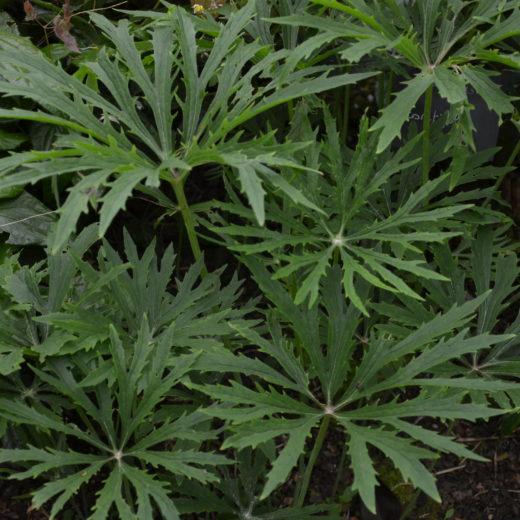 Syneilesis aconitifolia_Vert'Tige