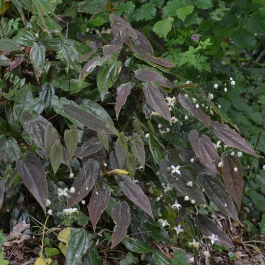 Epimedium acuminatum 'Yellow Flowered Form'_Vert'Tige
