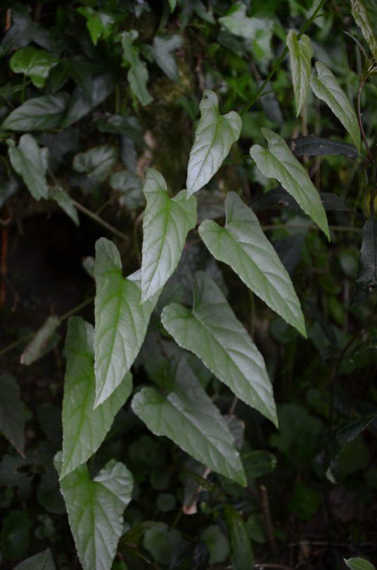 Rubus ichangensis_Vert'Tige