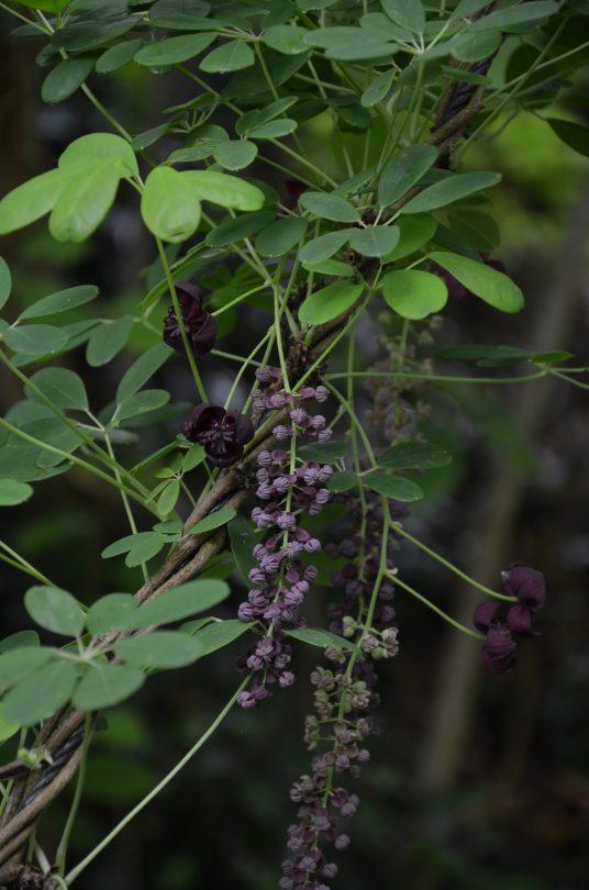 Akebia longeracemosa_Vert'Tige
