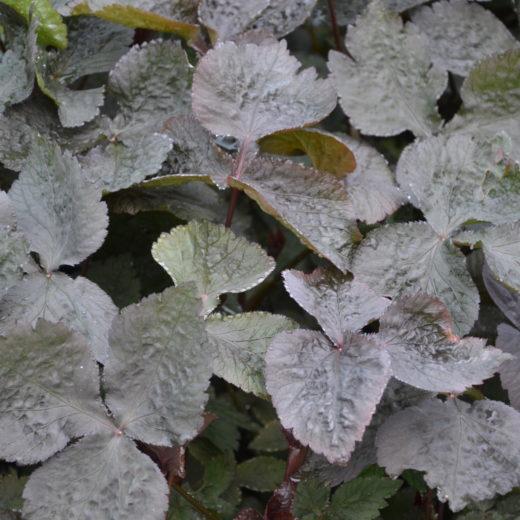 Cryptotaenia japonica f atropurpurea_Vert'Tige