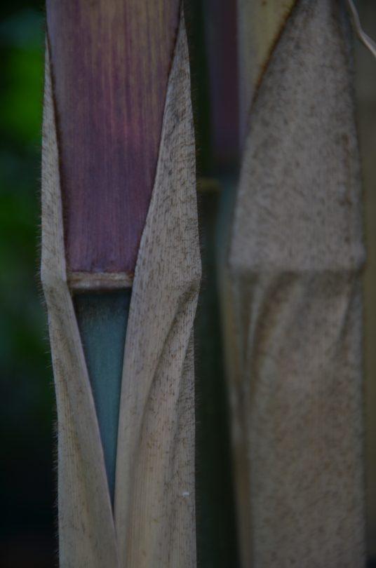 Fargesia papyrifera CS 1046_Vert'Tige