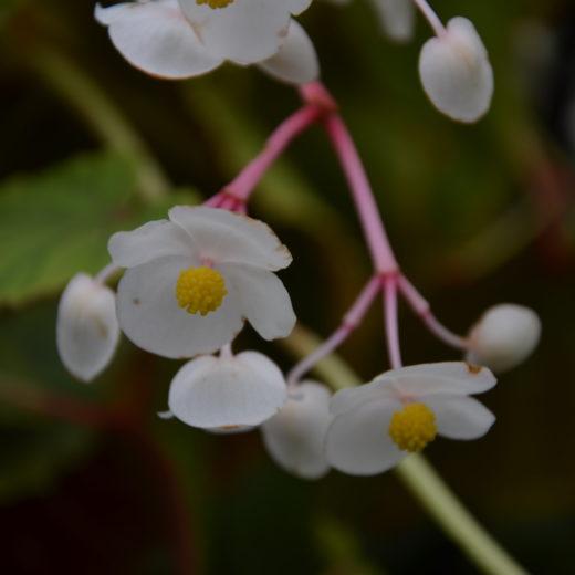Begonia_SnowPop