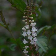 Keiskea japonica_Vert'Tige