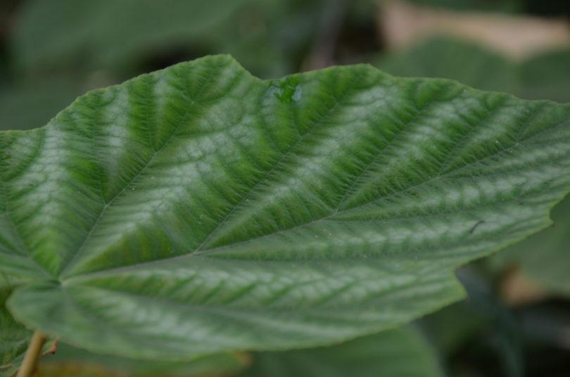 Rubus flagelliflorus_Vert'Tige