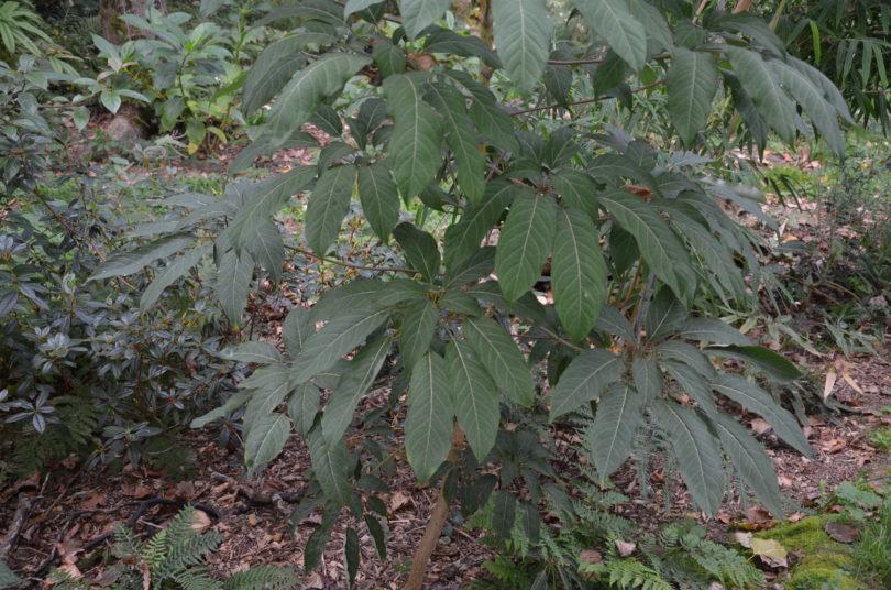 Schefflera aff fantsipanensis_Vert'Tige