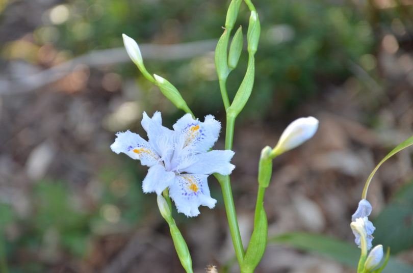 Iris japonica_Vert'Tige