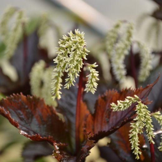 Chloranthus fortunei 'Domino'_Vert'Tige