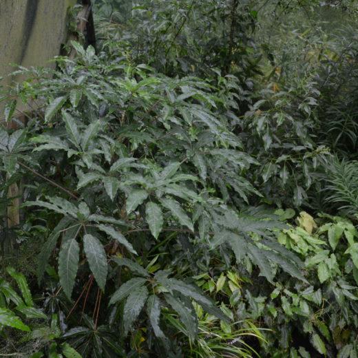 Schefflera brevipedicellata_Vert'Tige