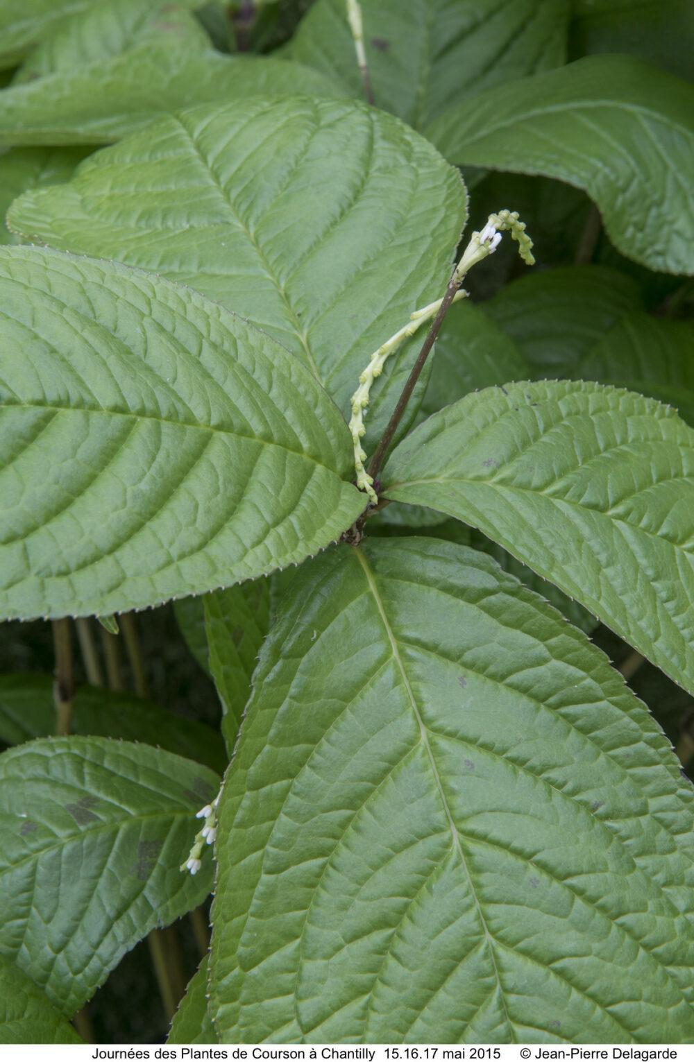 Chloranthus multistachys - Recommandation - Vert'Tige (1)