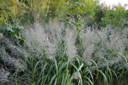 Calamagrostis sp_Vert Tige