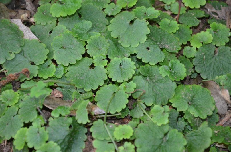 Chrysosplenium flagelliferum_Vert Tige