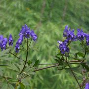 Aconitum chiisanense BSWJ 4446_Vert'Tige