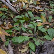 Ainsliaea latifolia_Vert'Tige