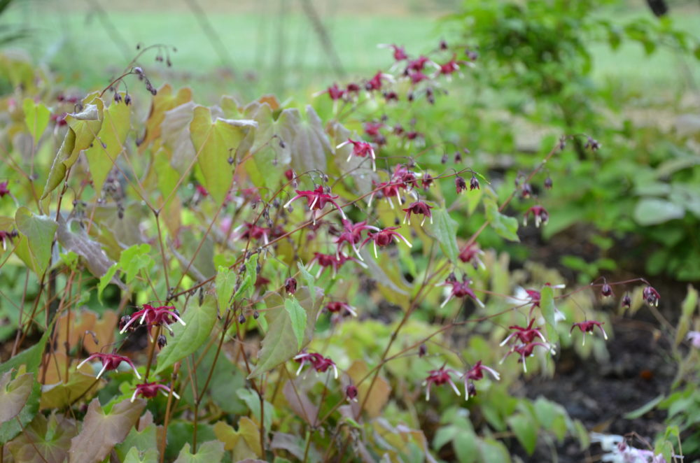 Epimedium 'Red Maximum'_Vert Tige
