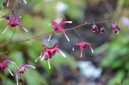 Epimedium_'Red_Maximum'